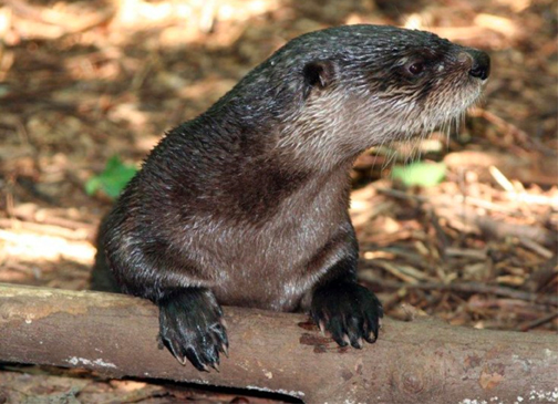 MISSING A LOCAL FRIEND. Otto the otter was a popular attraction at Bays Mountain Park. He passed away recently, possibly due to a member of the community feeding him inappropriate food.